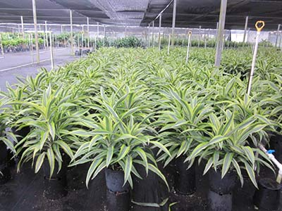 Dracaena lemon-lime 10in container size