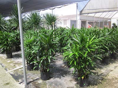Hawaiian Rhapis 10in