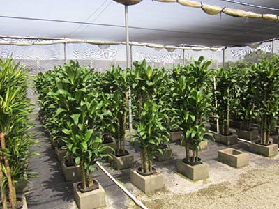 Dracaeana Michiko Hawaiian grown cane