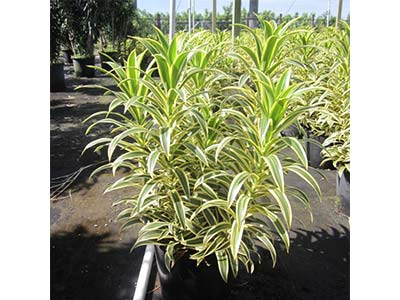 Dracaena - Pleomele Song of india