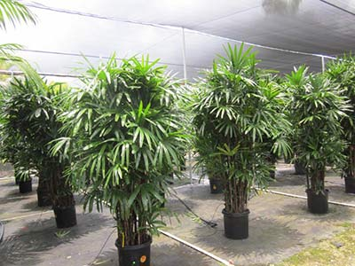 Hawaii Grown Rhapis Featuring Lush Growth
