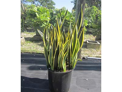 Sanseveria Black Gold 14in container grown at Consolidated Foliage